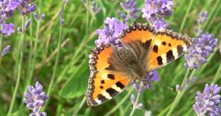 Tuintips in juni - vlinder op bloem