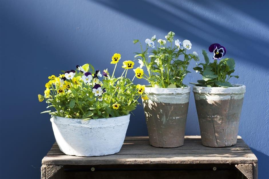 Tuinplant van de Maand oktober: Viooltje