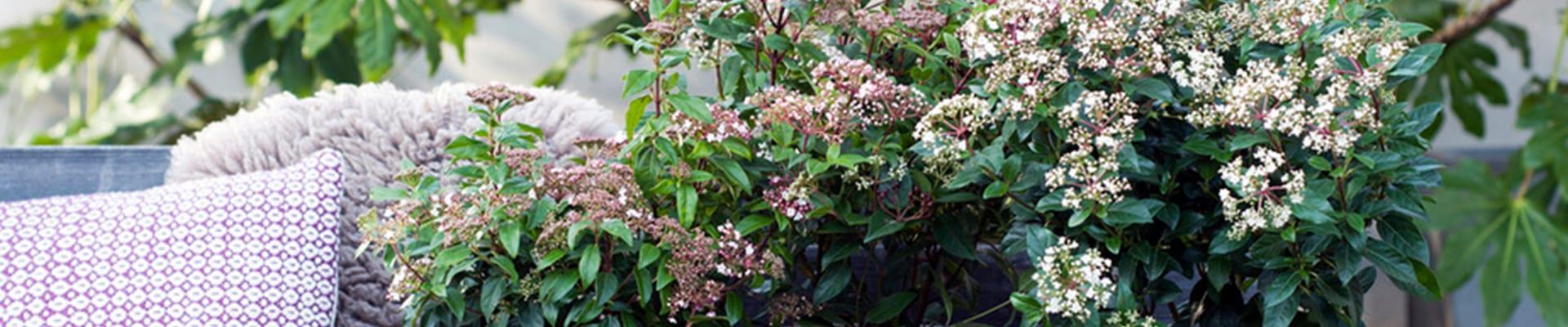 Tuinplant van de Maand februari: Sneeuwbal (Viburnum)